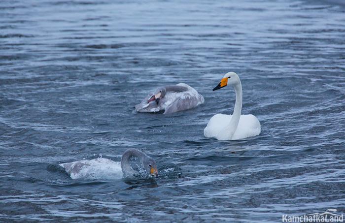 Лебеди на совсем не боятся людей