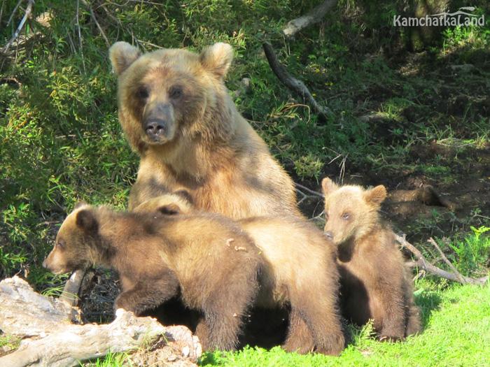 мама с медвежатами
