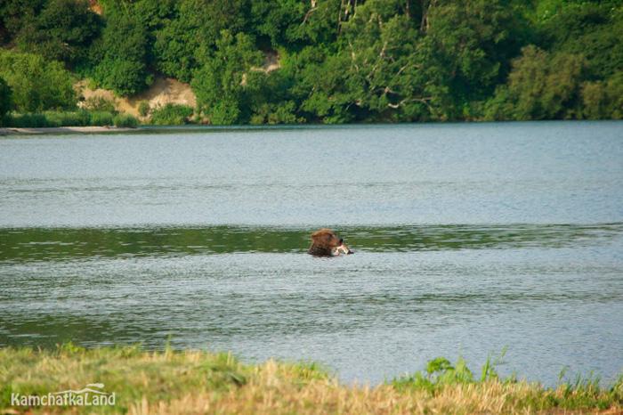 Рыбалка медведей на Камчатке