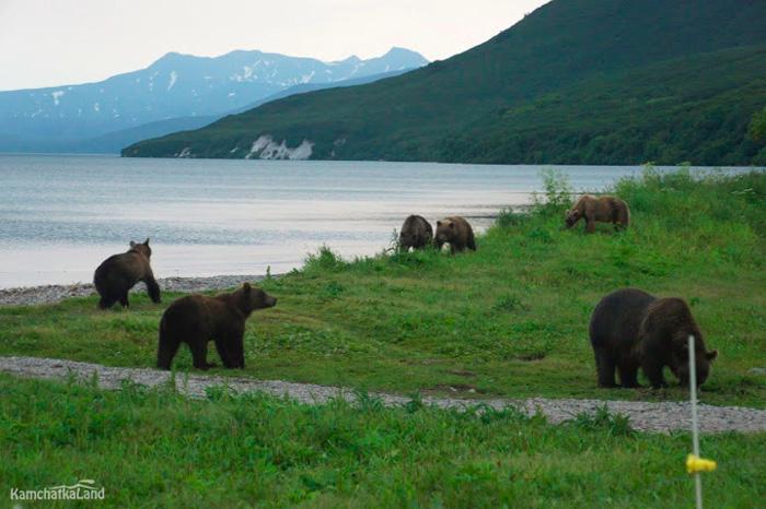 Камчатка - земля медведей